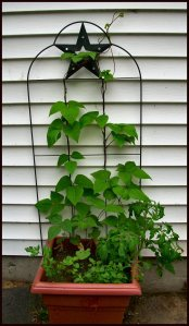 Container garden in my driveway with a vertical element for pole beans