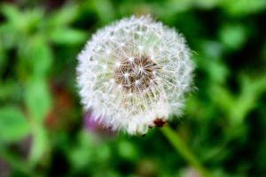 dandelion21.jpg