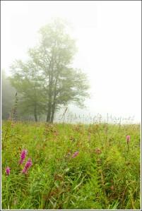 wildflowersfog