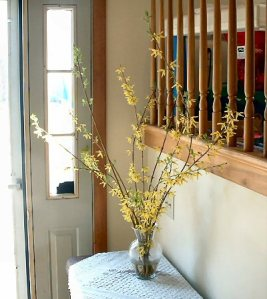 Forced forsythia branches in winter