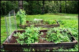 Two wooden raised beds with tomatoes, basil, cucumbers, lettuce, carrots, garlic, snow peas