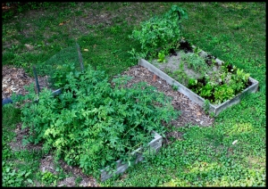 Last year's backyard garden: tomatoes, basil, cucumbers (left), lettuce, spinach, garlic, carrots, herbs, snow peas (right)