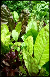 "Sow lettuce seeds thickly and harvest baby leaves by cutting 1"" above ground.  You will get a continuous harvest as they grow back."