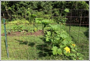New garden area in August.  Pumpkins went crazy.