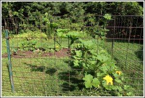 New garden area in August.  Pumpkins went crazy.