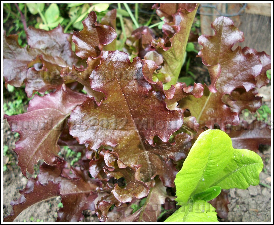 Heirloom Lettuce: What\'s in a Name? | Serendipity: Life is a Garden