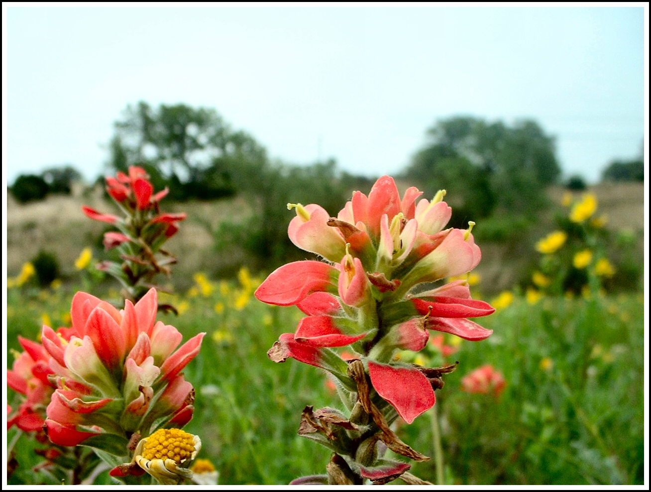 To a weed a poem serendipity life is a garden indian paintbrush in austin texas izmirmasajfo