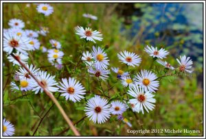 Happy wild asters growing down at the pond