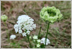 Wild carrot (Daucus carota) BEWARE: do not touch unless you can positively identify wild carrot.  POISON HEMLOCK looks very similar and is DEADLY
