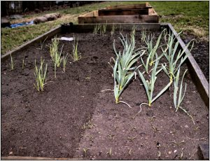 Spinach growing in garlic bed