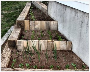 Terraced garden beds with dwarf bok choy, onions, lettuce, Aichi Chinese cabbage and broccoli
