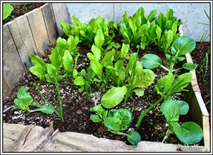 Lettuce bed.  To harvest lettuce, I merely cut the plant back to about 1.5 inches.  They grow back providing multiple harvests.