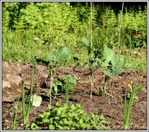 Broccoli, bok choy and red cabbage in my front garden.  In front, oregano, onions and tiny Swiss chard.