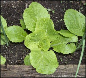 Aichi Chinese cabbage