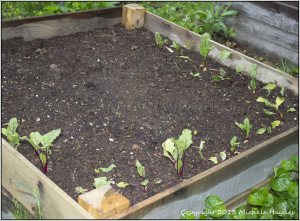 Pumpkin bed new home for beets which will be harvested before pumpkin plants get too big