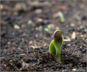 Pumpkin seedling