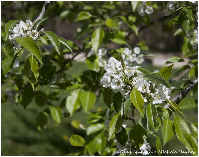 Bartlett pear blossoms