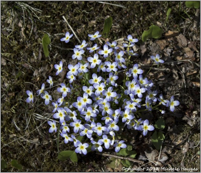 Bluets or Quaker Ladies