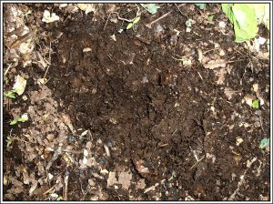 Just below the surface is gorgeous compost!  If I dig a few inches deeper, the pile is full of huge worms which means my pile is not hot or cooking but has become an outdoor worm compost pile.  Hey, whatever works.