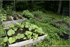 In the rear between the two raised beds are my huge potato plants in grow bags.