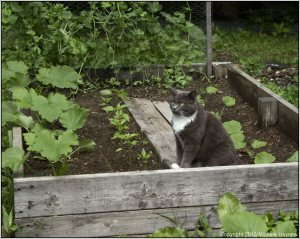 Boots posing among the zucchini and yellow squash with snow peas growing vertically in the background.  Anaheim peppers are growing near the center.