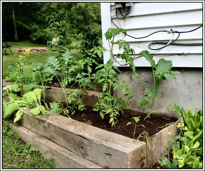 Terraced garden in summer mode.  Tomatoes, peppers with broccoli growing in the background.