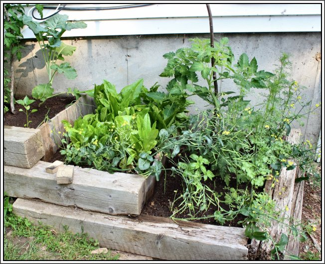 Lettuce bed still providing daily greens (smaller lettuce in front are regrown from plants I harvested once already), bok choy seed pods, tomato and cilantro