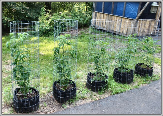 "Tomato plants in grow bags with 48"" tall welded wire cages"