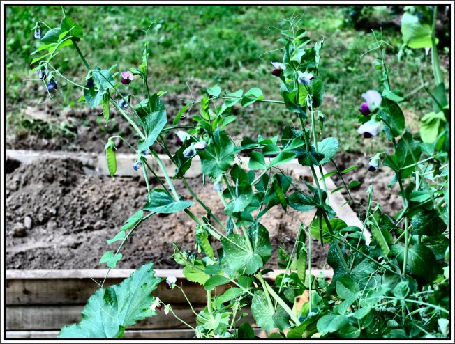 Snow peas producing well