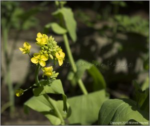 Aichi Chinese cabbage bolted and going to seed, which I will harvest to replant in the summer for fall cabbage