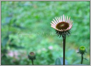 First coneflower about to open