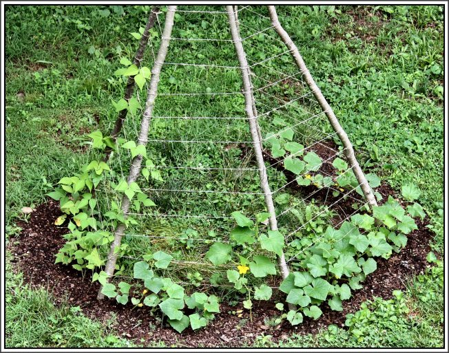 Most exciting is the cucumber growth since covering the ground around the bean teepee with fresh compost