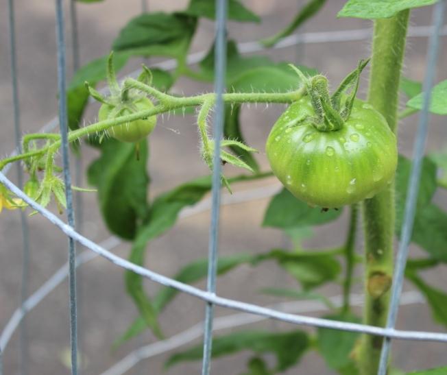 Moskovich tomato