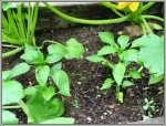 Anaheim peppers growing between the green and yellow squash plants