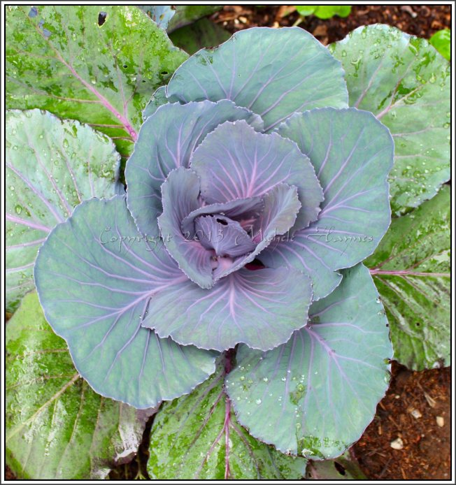 Red cabbage looking prettier than a rose