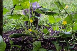 Lots of Suyo Long cucumbers