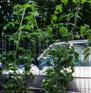 Grow bag tomatoes
