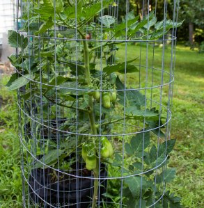 More grow bag tomatoes