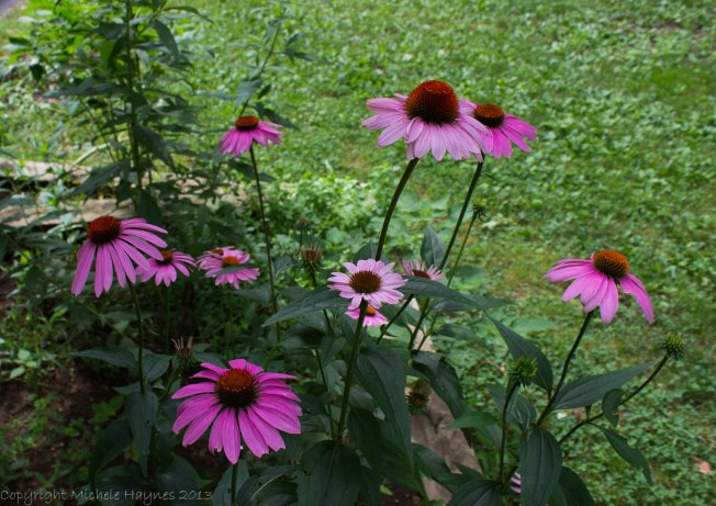 Coneflowers smell as nice as they look