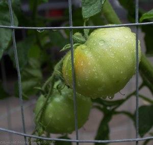 Moskovich tomato ripening