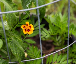 First marigold flower -- it is a day of firsts around here
