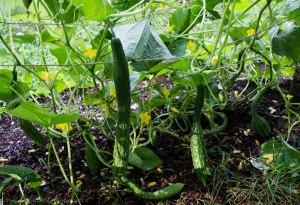 Suyo Long cucumbers growing inside the teepee trellis.