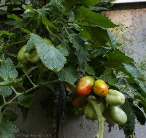San Marzano plum tomatoes