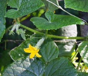 Multiple female flowers on cucumber vines
