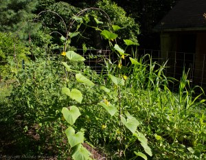 Front garden: pickling cucumbers growing on a pear branch trellis with 12 tomato plants supported by two more trellises and twine