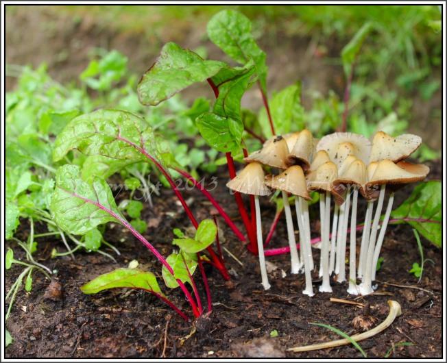 Found this quaint family of mushrooms beneath my broccoli plants