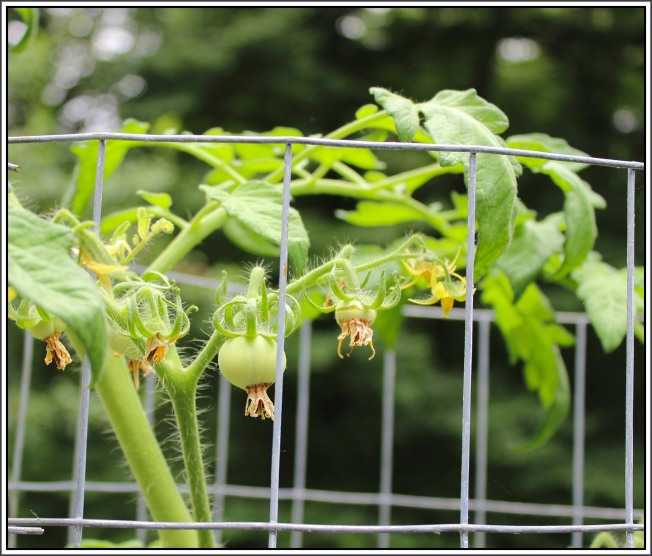 Tomato plants in grow bags are producing a large number of tomatoes