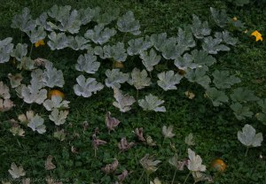 Pumpkin patch infected with powdery mildew.  If you look closely, you can see five sugar pumpkins.