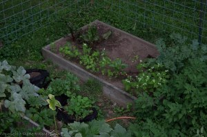Garlic bed with buckwheat cover crop, and two remaining grow bags with potatoes.