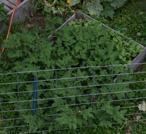 Originally the pumpkin bed, it is now growing at least a hundred baby kale plants, some dill and two monstrous ground cherry plants that I keep cutting back.